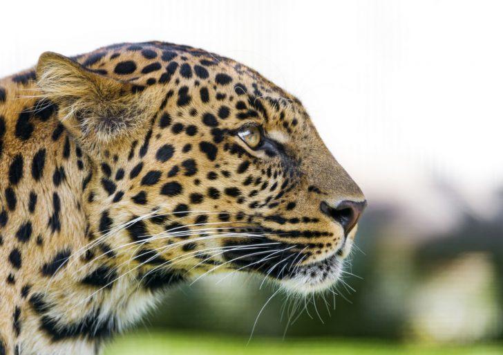 Profile of a leopard